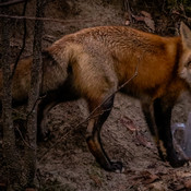 Fox with Garbage Bag