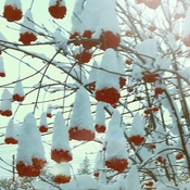 Snow capped berries.