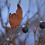 Dead leaf and berries.