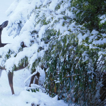 Deer among the snow