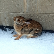 Cold Rabbit