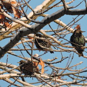 Christmas Starlings
