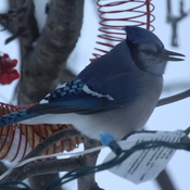 Blue Jays at Feeder after a snow storm.