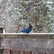 Stellars Jays Enjoying Peanuts