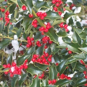 Coastal holly