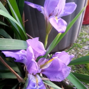 Iris uniguicularis blooms January 1, 2017.