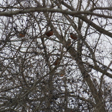 Never seen so many Robins together