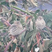House Finch Hangout