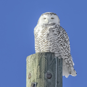 Snowy Owl enjoying the Sunshine