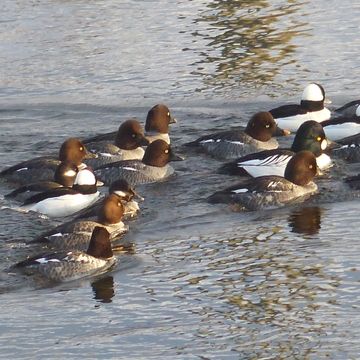 Goldeneye ducks