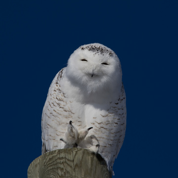 Snowy Owl, just north of Cornwall, Ontario