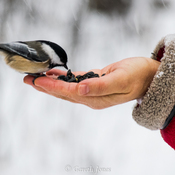 Feeding Chickadees at the Wye Marsh Wildlife Centre, Midland