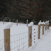"A grouping of rare ""snow owls""..."