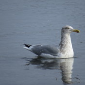 Herring Gull, Gully, 2nd and 3rd Attempts At Fishing, and Finally Cruising Along