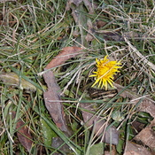 hardy dandelion in bloom