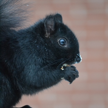 'Mr. Frosty Nose' Black Squirrel