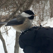 Feeding time for the chickadee