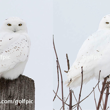 2 male snowy owls