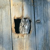 Eastern screech owl enjoying some sunshine