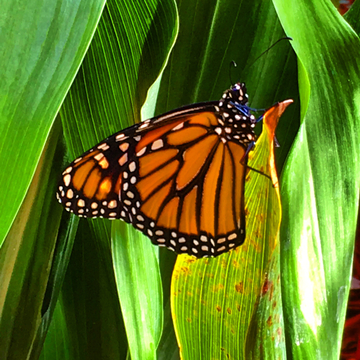 Beautiful monarch butterfly