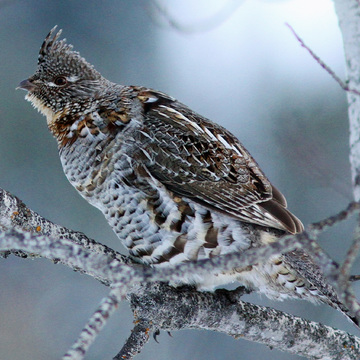 Ruffed Grouse.