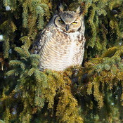 Great Horned Owl at Ft. Whyte Alive