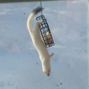 Ermine at the suet