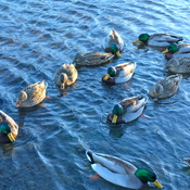 Ducks at Lake Banook