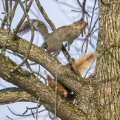 Fighting Squirrels