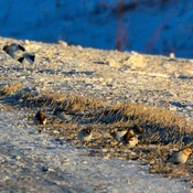 Snow bunting looking for a meal in cold winter