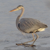 Blue heron in the kettle river