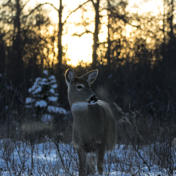 Sunset Deer