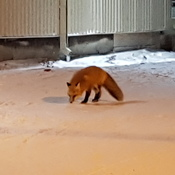 fox outside tim Horton's