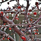 Iced Crab Apple