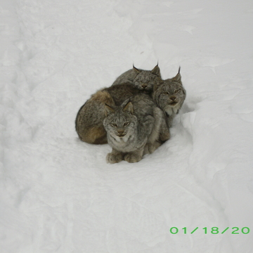 Three Of The Four Lynx On The Trail