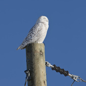 Snowy Owl, north of Cornwall