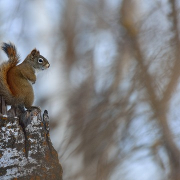 Squirrel enjoy snow scene