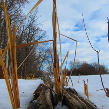 Winter de Cattails