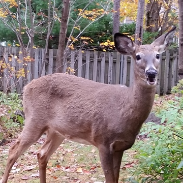 deer in our backyard in Halifax