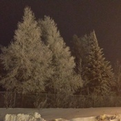 The ice on the trees this morning at 7:30 am