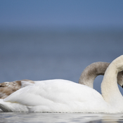 Swans in Lake Ontario