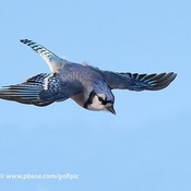 Bluejay diving