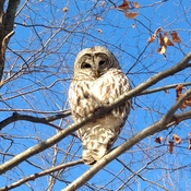 Barred Owl at LeMoine's Point