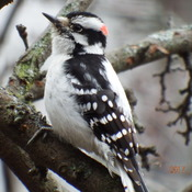 Red Capped Downy Woodpecker