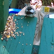 chickadee feeding on deck
