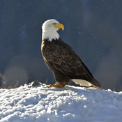 Bald Eagle catching some rays