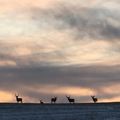 Mule deer in the sunset