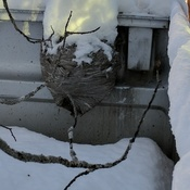 winter bees nest