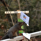 Squirrel flies the flag!