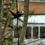 pileated woodpecker from my window